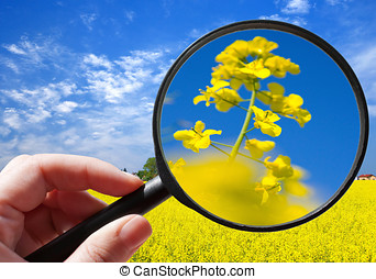 colza, /, rapeseed, plante, -, czech, landbrug, -,...