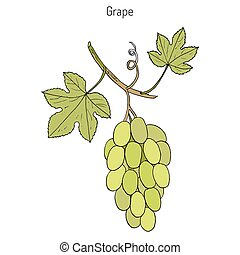 común, enredadera de uva