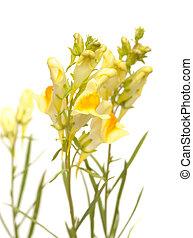 común, linaria, toadflax, vulgaris