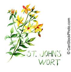 común, mosto de st juan, salvaje, planta, perforatum de...