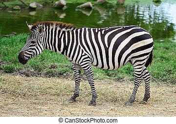 común, zebra