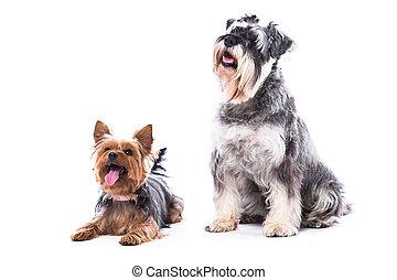 comando, perros, obediente, dos, sentado