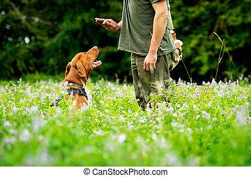 comando, vizsla, obediencia, sentarse, outdoors., perrito, lado, su, entrenamiento, hermoso, húngaro, dueño, durante, vista.