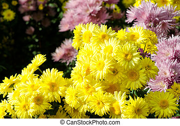 combination of colorful blooming chrysanthemums