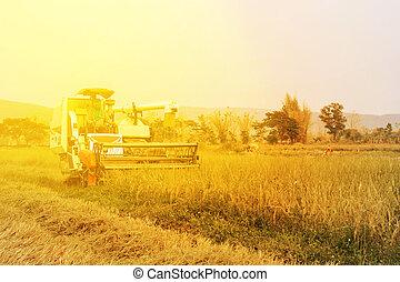 Combine agriculture machine harvesting golden ripe rice