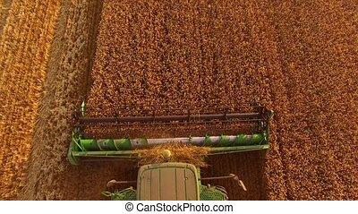 Combine cutting wheat. Machine in the field.