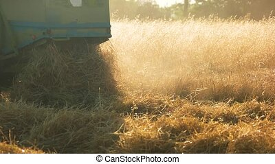 Combine dumping straw, close up. Harvesting wheat, dumping...