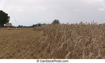 combine field stork birds - Agriculture works. Ripe ears...