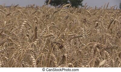 combine field stork birds - Ripe wheat ears move in wind and...