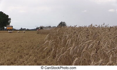 combine harvest wheat - Ripe wheat ears move in wind and...