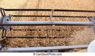combine harvester cuts wheat ears