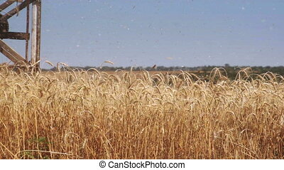 Combine harvester harvesting a field of wheat