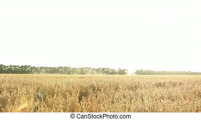 Combine harvester in wheat field