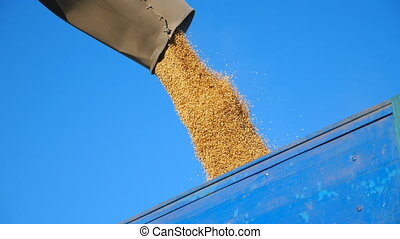 Combine harvester loading wheat grains. Yellow dry kernels falling from harvester auger into truck trailer. Rye pouring at sky background. Concept of harvesting. Slow motion Close up Low view.