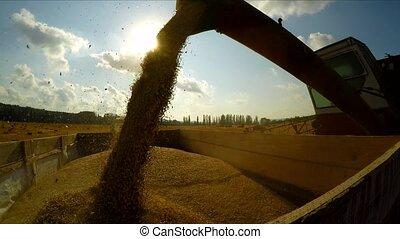 Combine Harvester Unloading Grains