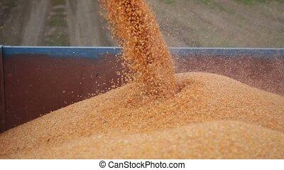 Combine harvester unloads maize corn into trailer - Close up...