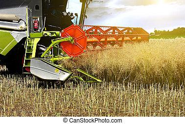 Combine harvester working in rapeseed