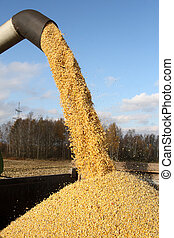 Combine harvesting a corn crop - Loading of grain of corn in...