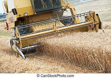 Combine harvesting cereals field