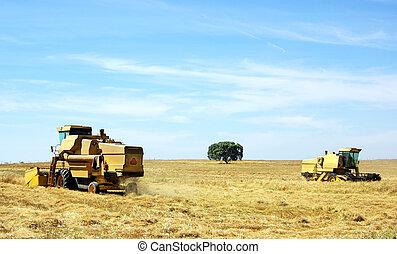 Combine harvesting wheat in portuguese field.