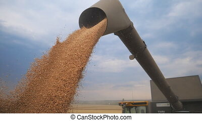 Combine loading wheat grain in truck at evening. Yellow dry kernels falling from harvester auger. View on stream of freshly harvested barley pouring in trailer. Beautiful sky at background. Slow mo.