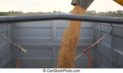 Combine loading wheat grains in truck at evening. Close up pouring of fresh rye into trailer. Yellow dry kernels falling from harvester auger. Concept of harvesting. Slow motion.
