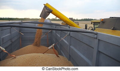 Combine loading wheat grains in truck at evening. Side view on loading process of fresh rye into trailer. Yellow dry kernels falling from harvester auger. Concept of harvesting. Slow mo Dolly shot.