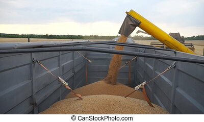 Combine loading wheat grains in truck at evening. Side view on loading process of fresh rye into trailer. Yellow dry kernels falling from harvester auger. Concept of harvesting. Slow mo Close up.
