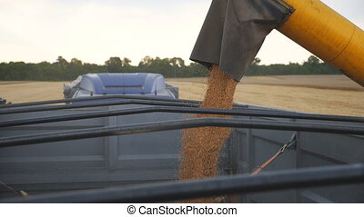 Combine loading wheat grains in truck. Close up pouring of fresh rye into trailer. Yellow dry kernels falling from harvester auger. Working process on farm. Concept of harvesting. Slow motion.