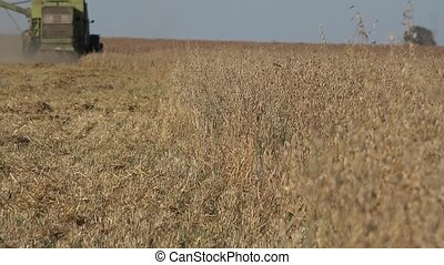 Combine thresher harvesting oat corn ears and tractor with trailer in agriculture field. 4K