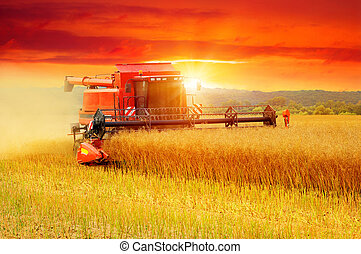 Combine working in field. Harvester harvests