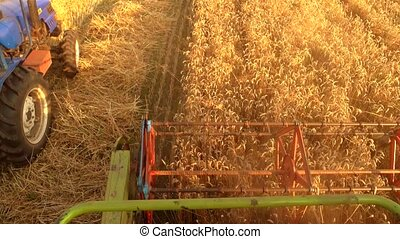 Combiner harvesting spikelets. Top view, close up. Driver...