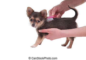 Combing a puppy of chihuahua breed isolated on white background
