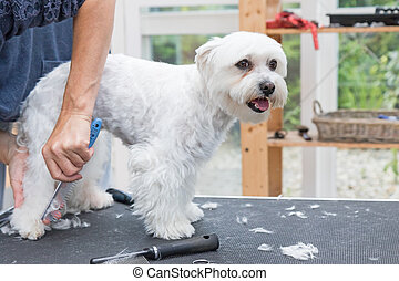 Combing  back legs of standing white dog