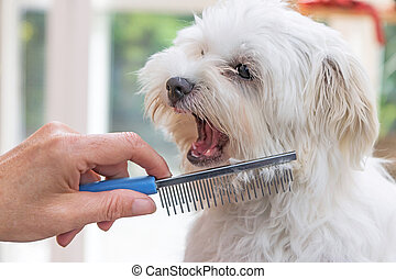 Combing beards of the white dog