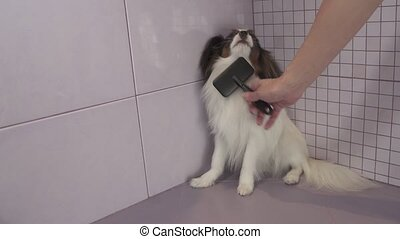 Combing dog's fur after bathing Continental Toy Spaniel Papillon stock footage video