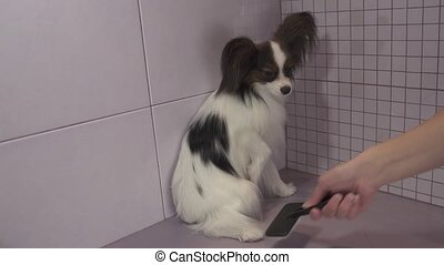 Combing dog's fur after bathing Continental Toy Spaniel...