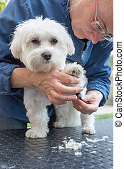 Combing the paw of the adorable white dog