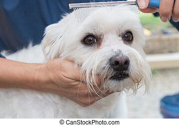Combing the white Maltese dog