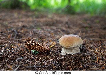 comestível, cogumelos, boletus, edulis