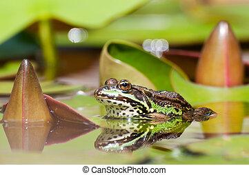 comestible, grenouille