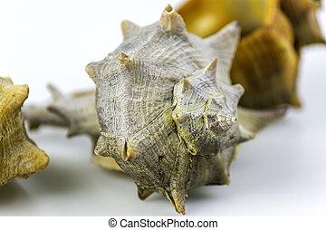 comestible, marin, brandaris, bolinus, mollusque, gastéropode