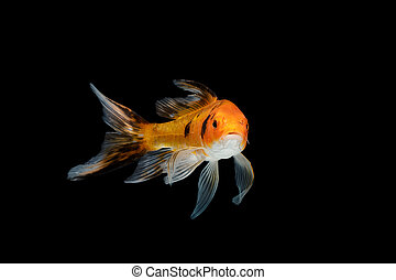 Comet Fish on black background