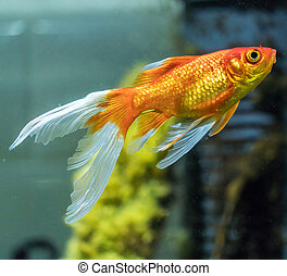 comet-tailed goldfish