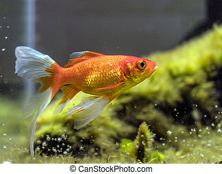 comet-tailed goldfish (Carassius auratus) in aquarium -...
