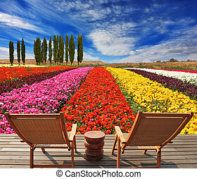 Comfortable lounge chairs - Flowers for export. Field of...