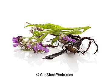 Comfrey flowers and root. - Purple blooming Comfrey flower ...