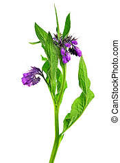 Comfrey (Symphytum officinale) isolated on white background...
