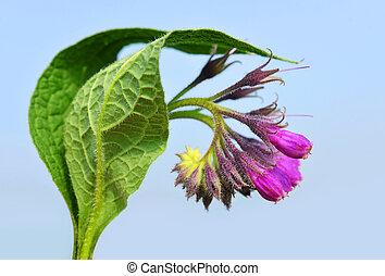 Comfrey (Symphytum officinale), plant used in medicine.