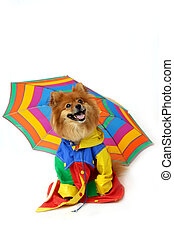 "Comical Canine Rainy - Pomeranian wears a ""coat of many ..."